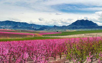 Floración de Cieza in Murci